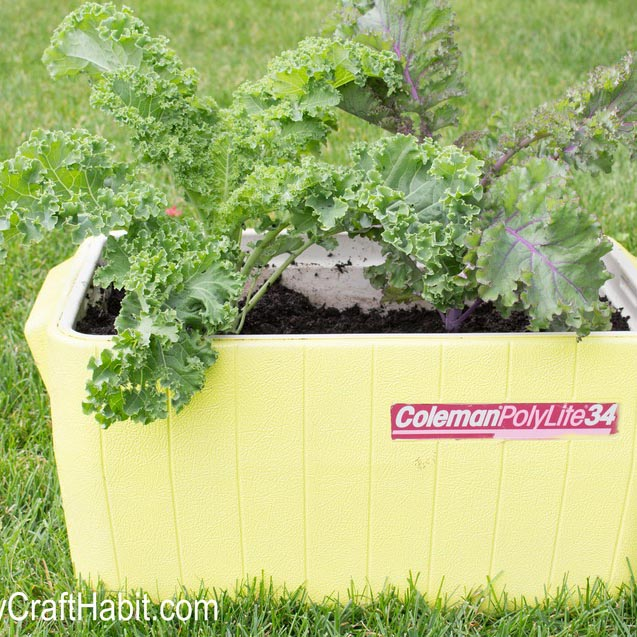 An old cooler painted yellow and uncycled into a garden for kale plants