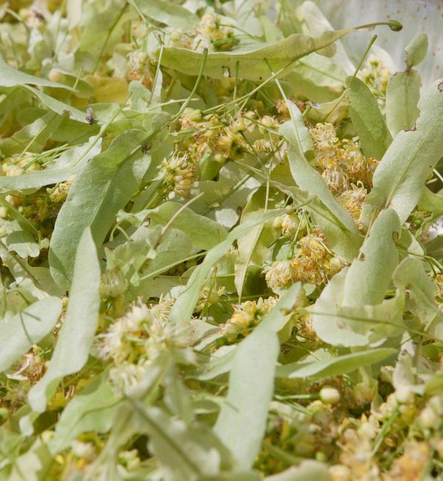 Dried linden tree leaves to make iced linden tea