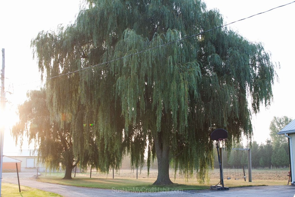 Large willow tree on a farm in the morning sunlight.
