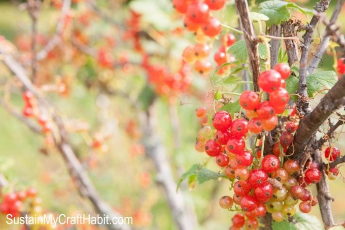 Red currants ripened on the vine are perfect to use in fresh berry desserts