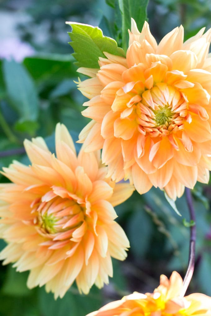 Close up views of two fully blooming yellow dahlias in the garden.