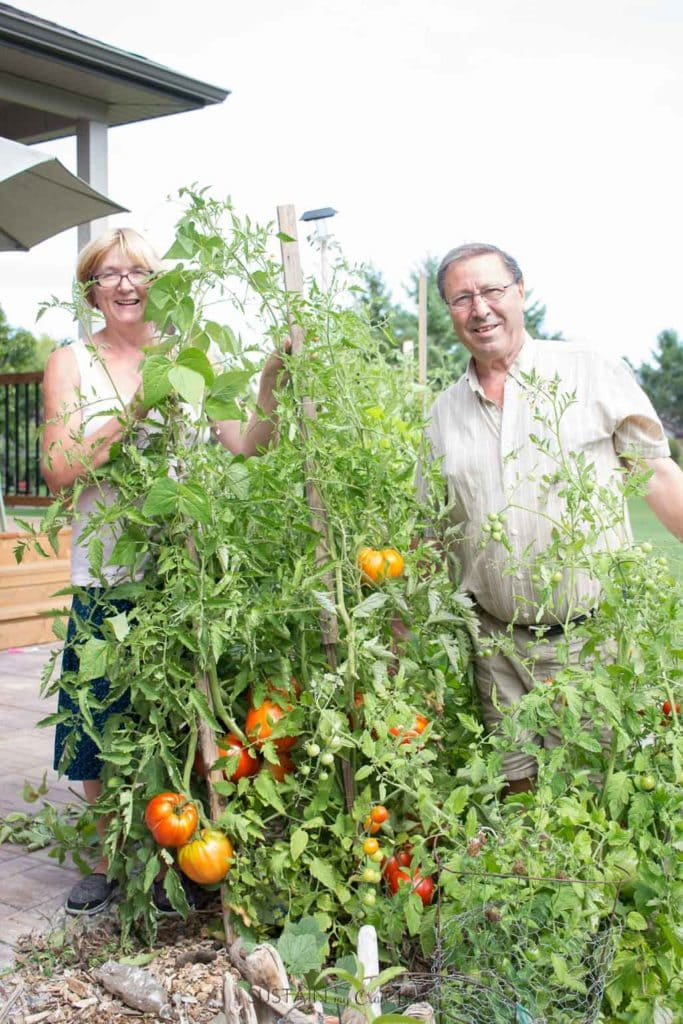 Man and woman standing beside talk tomato plants filled with ripening tomatoes.