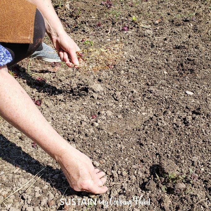 Sprinkle lettuce seeds over turned soil for planting.