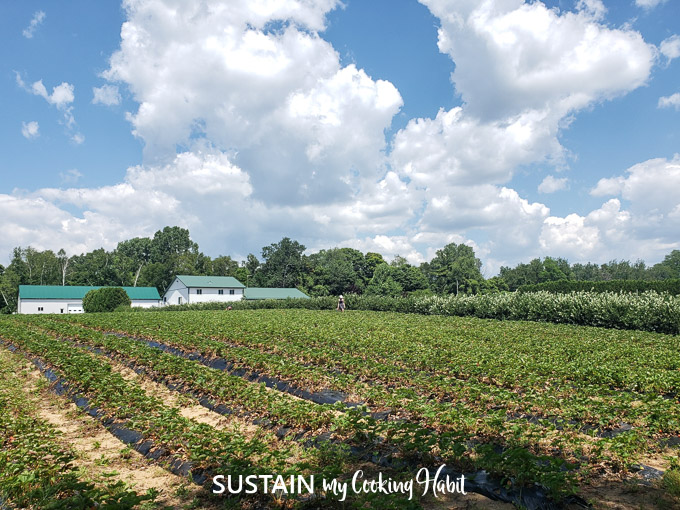 A field of strawberry plants lined up in rows. A blue sky is filled with fluffy white clouds above.